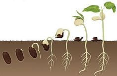Bean Plant Life Cycle – Gardening for beginners and gardening ideas tips kids Seed Germination For Kids, La Germination, Planting Seeds, Planting Flowers, Tree Map, Planting For Kids, Sequencing Cards, Bean Plant, Bean Seeds
