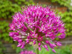 Zierlauch Blüte