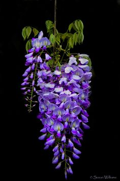Wisteria - one of my absolute favorites!!!!