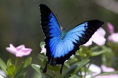 Ulysses butterfly - Papilio ulysses, also known as the Blue Mountain Butterfly, or the Blue Mountain Swallowtail