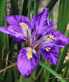 Iris unguicularis var. angustifolia. The lady has a complicated name! LOL! Photograph by John Glover/Alamy