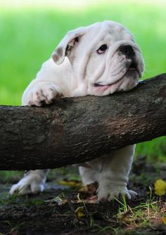 Barrister Bulldogs - Bulldog Breeder Owner Fort Wayne, IN