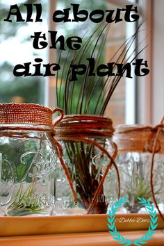 All about the air plant, care and tips. Mason jars and more.