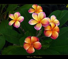 Rare Flowers - The Plumeria Musk Rainbow | by mad plumerian