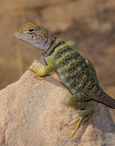 Eastern Collared Lizard......