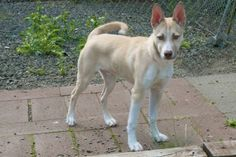 Laddy - He's a Keeper at 5 months is an adoptable Husky Dog in Hillsboro, OR. Great family dog for those who want a young dog with lots of energy and great with people. He's good on the leash and lov...