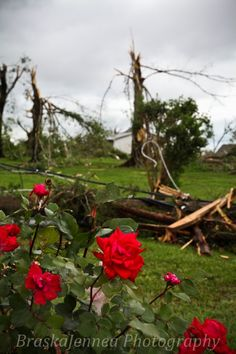 April 27, 2011 Cleveland, TN tornado outbreak.  A testament to the power and wonder of tornadoes...how this rose bush survived with it's frail petals still intact while a power pole was splintered 5 feet away is beyond me, but it's breathtaking! Captured by BraskaJennea Photography April 28th, 2011