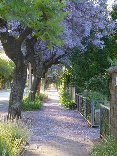 Jacarandas in Unley Adelaide