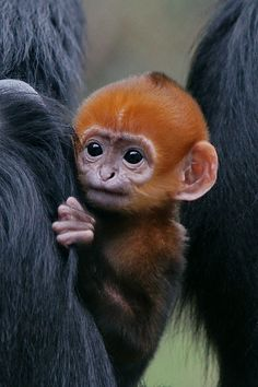 """Adorable Infant Francois' Langur,"" by San Francisco Zoo via Flickr -- Baby's hanging on tight!"