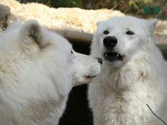 Malik, ambassador wolf at International Wolf Center, died March 2014.