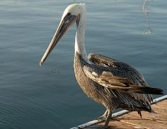Brown Pelican Endangered Species | California brown pelicans have been delisted as endangered species ...