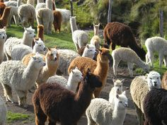 A flock of alpaca.