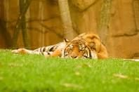 tiger lying down - Google Search