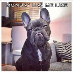 Monday has me like.... Frank, the Adorably Grumpy French Bulldog
