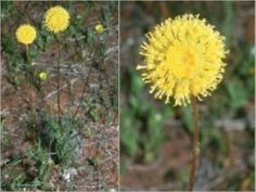 thumbnail 300×225 pixels Endangered Plants
