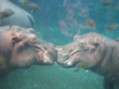 Cutest-kisses: Amy M. Malden, Missouri took this adorable photo of two hippos sharing a special moment