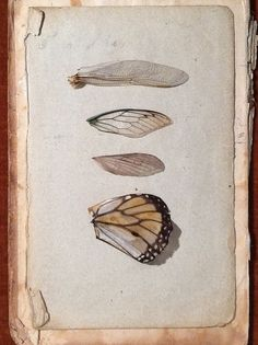 Wings Study 1 by Catherine O'Meara : collection of insect wings on old book page.