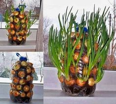 Growing onions vertically on the window sill - up-cycling plastic jugs and bottles Indoor Vegetable Gardening, Container Gardening, Organic Gardening, Gardening Tips, Texas Gardening, Greenhouse Gardening, Growing Onions, Growing Plants, Growing Vegetables
