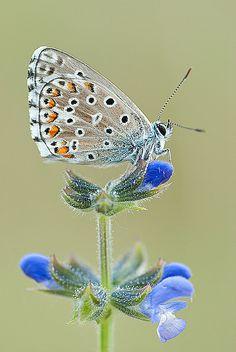 Lysandra hispana butterfly