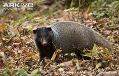 Amur badger (Meles leucurus amurensis) is a subspecies of Asian badger with darker fur and sometimes the stripes are indistinguishable. Asian badgers look and behave much like their close relatives, European badgers.