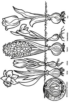Kids-n-Fun coloring page- Ausmalbild Zwiebeln Kids-n-Fun Kids-n-Fun coloring page - Elementary Science, Science For Kids, Art For Kids, Crafts For Kids, Spring Art, Spring Crafts, Cool Coloring Pages, Coloring Books, Spring Activities