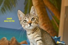 James a Brown Tabby Kitten for Adoption