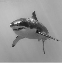 Great White Shark # Sun reflects