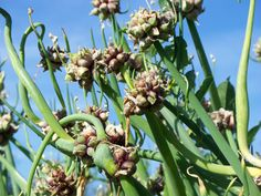 20 Perennial Vegetables to Plant Once and Enjoy forever! Pictured are Egyptian Walking Onions