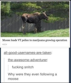 World's most annoying moose or stupidest police force?