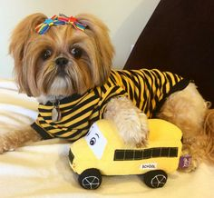 The wheels on the bus have nothing over this sassy Shih Tzu! 🚌