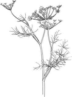 Click to see printable version of Fennel coloring page