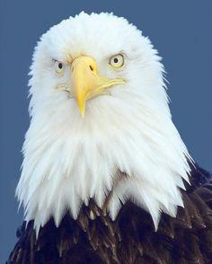 711 best animals birds eagles images birds of prey vulture rh pinterest com
