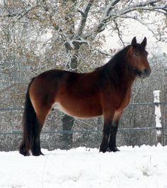 Fell Pony mare Bracklinn Red Lady