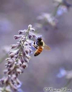 Nature Photography Honey Bee Photo on Blue Flowers Country Wall Art Print 5x7 Bee Sage