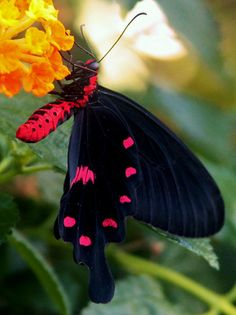 Beautiful pink and black butterfly. Papillon Butterfly, Butterfly Kisses, Butterfly Flowers, Beautiful Bugs, Beautiful Butterflies, Simply Beautiful, Beautiful Creatures, Animals Beautiful, Flora Und Fauna