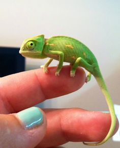 BABY CHAMELEON!!!  Posted to reddit by quasigeostrophic