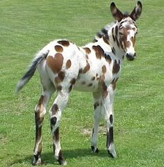 Appaloosa mule foal.  And you thought your crinkly human baby was cute...