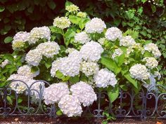 Hortensias are in full bloom in our garden, so full that they are falling over