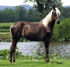 wycieńczony - rocky mountain horse
