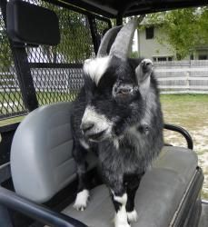 Houdini is an adoptable Pygmy Goat in Woodstock, IL. A small, mostly black Pygmy goat with great personality that truly enjoys being around people. He is a joy to be around, but loves to escape his en...