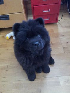 She is sooo sweet, now 9 weeks     i love chow chows♥ adorable.