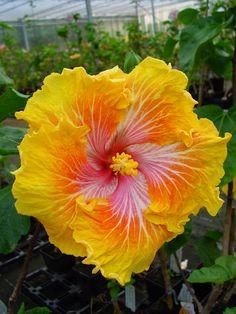 Tahitian Hibiscus~ ( Tahitian Sunset Cyclone)