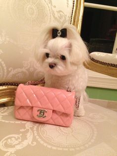 My fluffy baby, Lupe with my daughter's mini pink #Chanel bag!