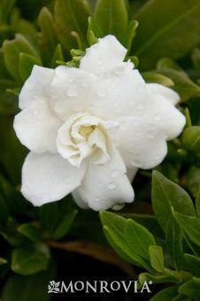 Miniature Gardenia (Gardenia jasminoides 'Radicans') -Evergreen, spreading to 2'-3' -blooms in spring
