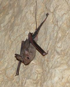 Lesser mouse-tailed bat (Rhinopoma hardwickei cystops)
