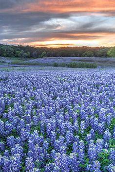 Blue Bonnets in Brenham, Texas via Texas Photography, Nature Photography, Travel Photography, Brenham Texas, Austin Texas, Texas Usa, Dallas Texas, Visit Texas, Texas Bluebonnets