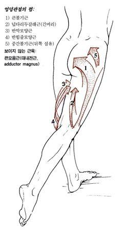 넙다리(대퇴)의 근육 12 - Adductor Longus 긴모음근 장내전근 長內轉筋 : 네이버 블로그 Comic Drawing, Manga Drawing, Drawing Tips, Muscle Anatomy, Body Anatomy, Anatomy Reference, Drawing Reference, Human Anatomy Drawing, Anatomy Sketches