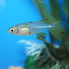 Celebes Rainbowfish - Marosatherina ladigesi