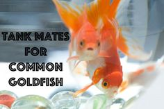 Are you looking for a fish friend for your common goldfish? Find their terrific tank mate!