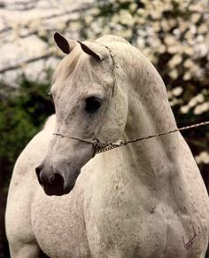 Ansata Ibn Sudan  *Ansata Ibn Halima++ x Ansata Bint Mabrouka  1965 - 1987    US National Champion Stallion.  Sire of many champions.